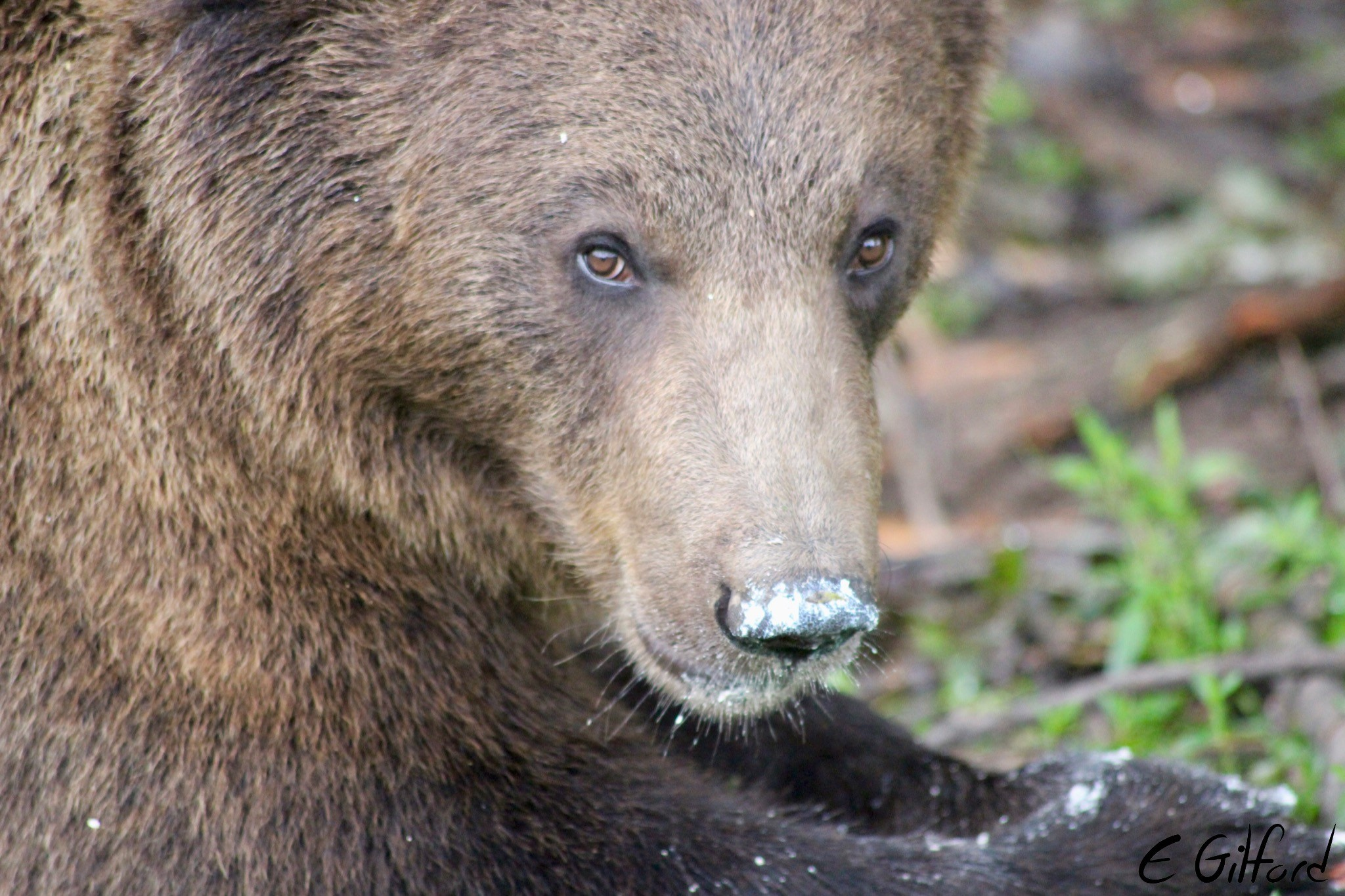 One of the bears at the bear sanctuary in Romania