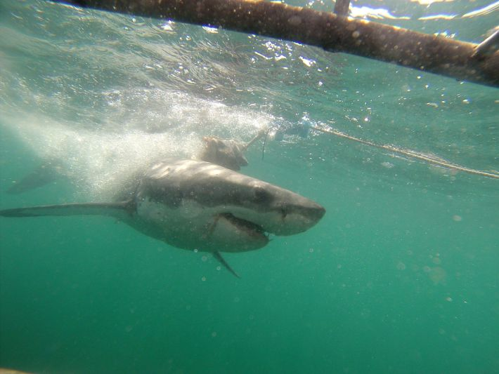 Volunteers go shark cage diving in South Africa