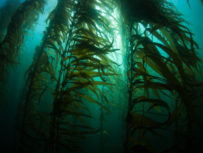 Kelp forest in South Africa