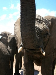 Meet Thandi, the first elephant to be born at the park in South Africa