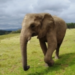 This elephant enjoys her newfound freedom at the elephant park in South Africa