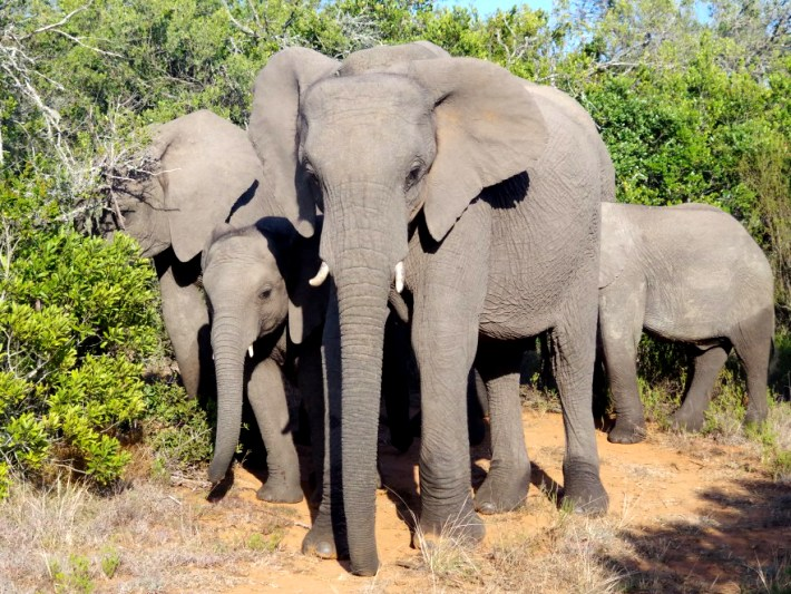 Elephants graze in the Big 5 game reserve