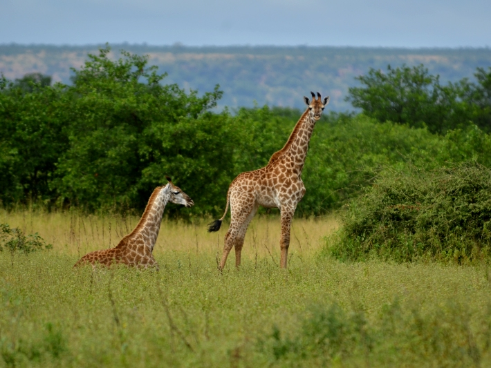 A baby giraffe looks out on Kruger National Park