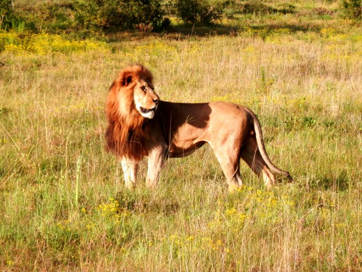 A lion in Addo National Park