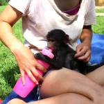 A volunteer bottle feeds a baby primate in South Africa on the rehabilitation project