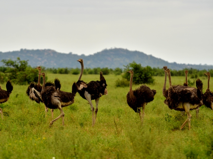 Ostriches roam the plains in the Kruger National Park