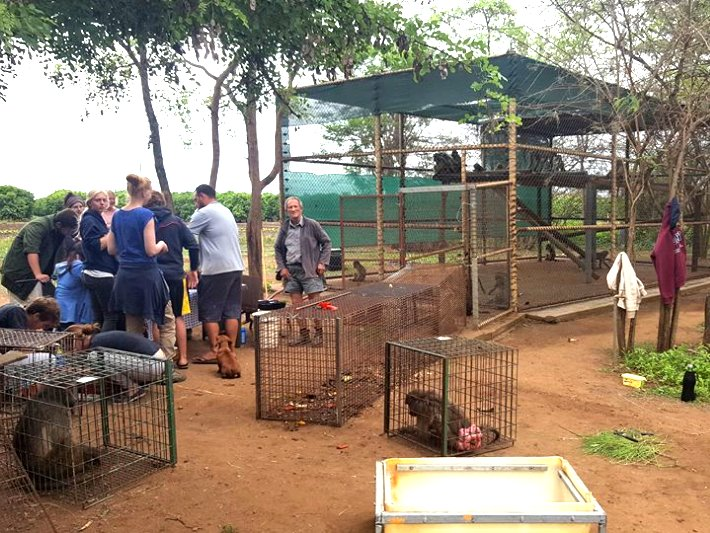 Volunteers help with preparations for the primate release in South Africa