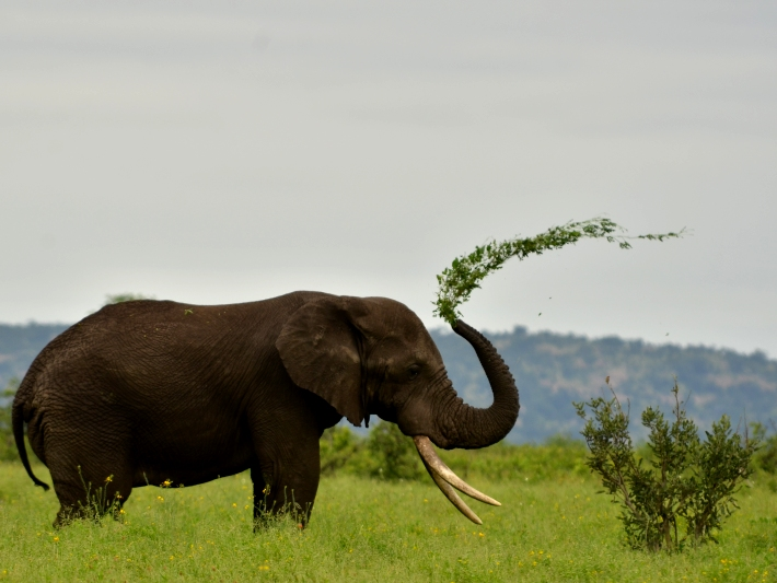 An elephant plays in the Kruger National Park