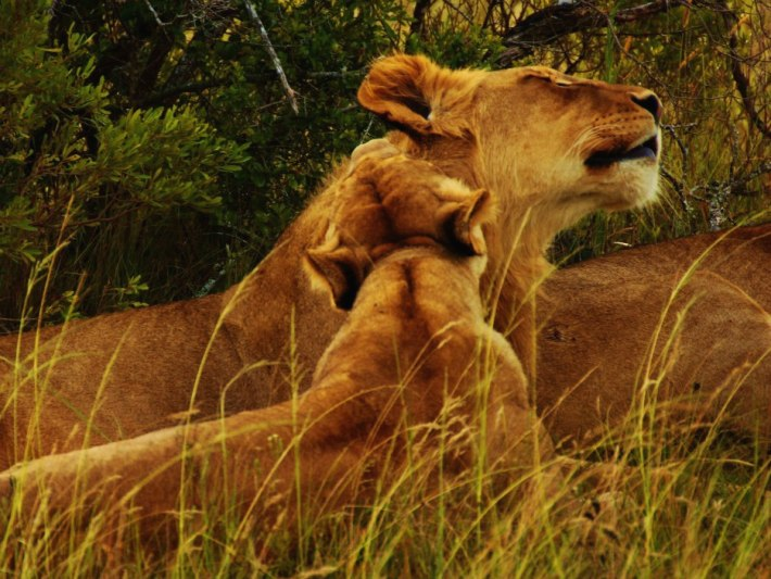 Lions at the Big 5 game reserve in South Africa
