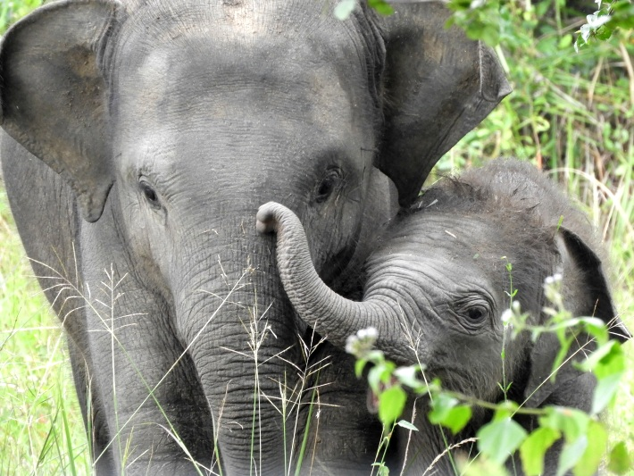 A mother with her baby elephant in Sri Lanka