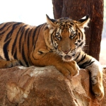 Tiger at wildlife centre in Thailand