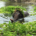 An elephant at the elephant sanctuary enjoys playing in the reeds in the lake