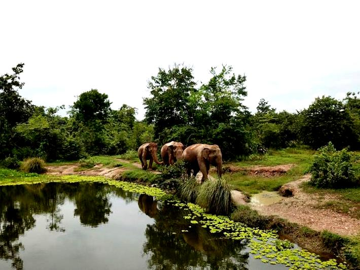 Elephants roam through the elephant sanctuary in Thailand