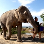 A volunteer at the wildlife sanctuary in Thailand takes a rescued elephant for a walk