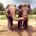Thailand wildlife sanctuary elephants trunks in the air