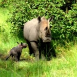 Mother and baby rhino at the sanctuary in Uganda