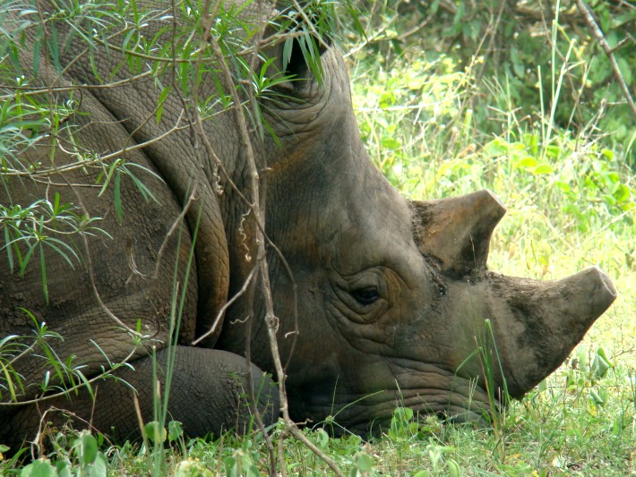 A rhino sleeps at the sanctuary in Uganda
