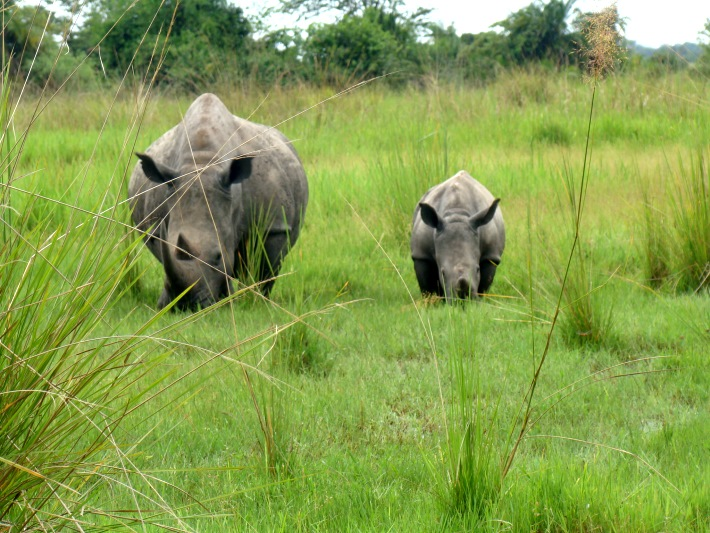 Mother and baby rhino graze together