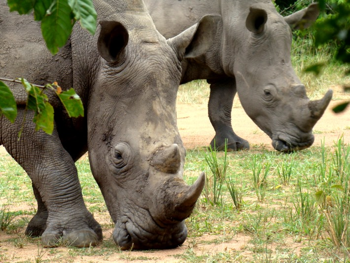 Rhinos grazing at the sanctuary in Uganda