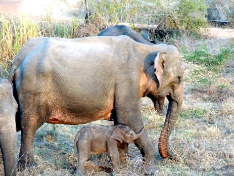 Mother and baby elephant in Sri Lanka - volunteers on the elephant project are monitoring their progress during the dry season