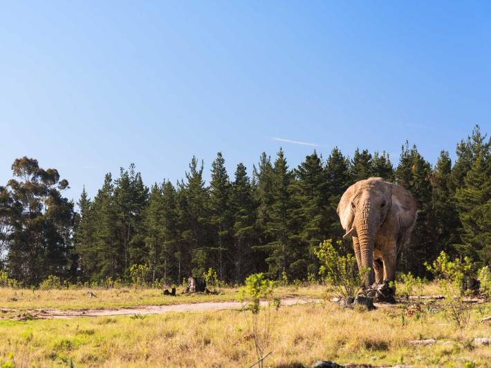 An elephant grazes peacefully in South Africa