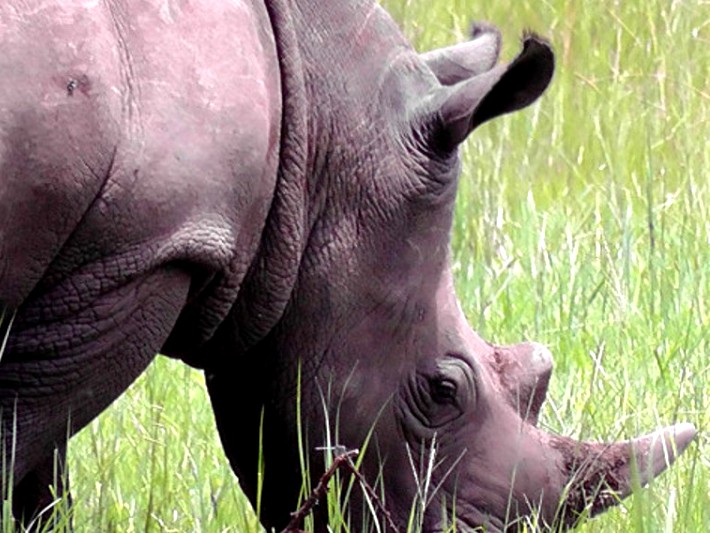Rhinos are being reintroduced to Uganda for the first time since they were poached to extinction in the 1980s