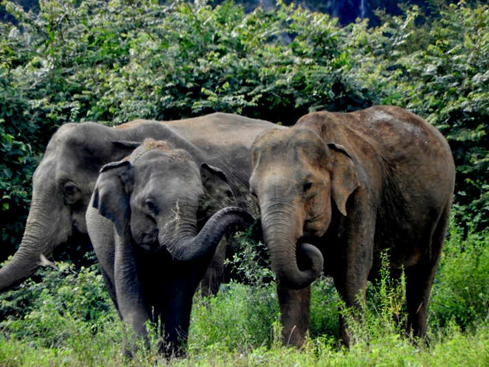Beautiful wild elephants in Sri Lanka
