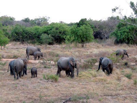 Elephants roam in freedom in the national park in Sri Lanka