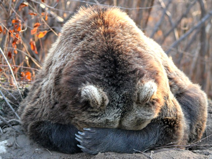 A bear at the sanctuary in Romania hides from the world. World Animal Protection has been shortlisted as one of the best organisations that help endangered animals