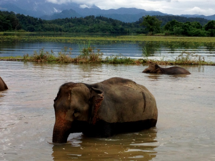 Elephant populations are fast dwindling around the world. There are some top wildlife conservation organisations striving to help elephants survive, such as this one in Laos.