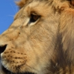 £200 of volunteering with lions in SA