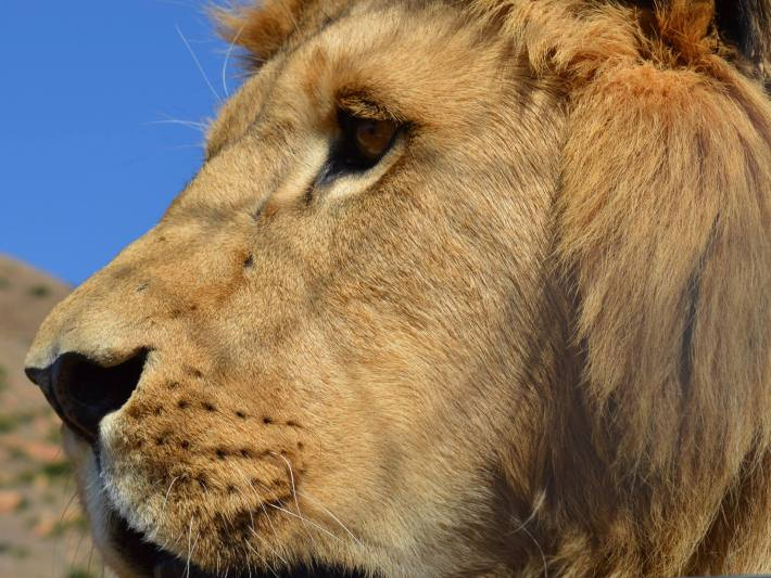 Lions are endangered in Africa. This lion looks out over LIONSROCK, run by the international animal welfare charity for endangered animals FOUR PAWS