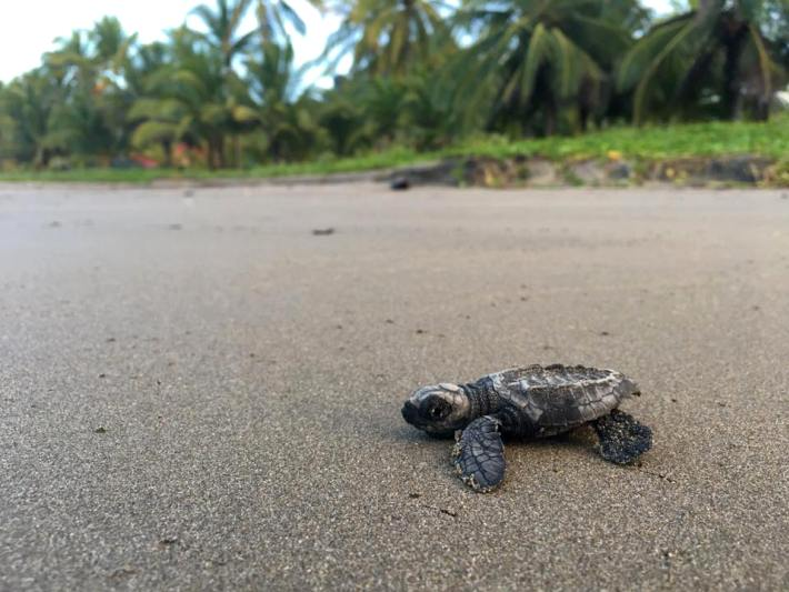 A baby turtle makes its way to the sea in Costa Rica