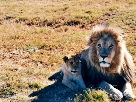 A mother and baby lion in a game reserve in South Africa