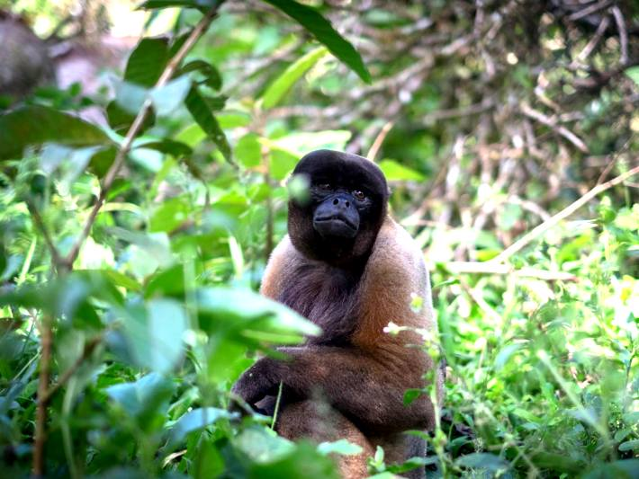A woolly monkey enjoys his new life in the semi wild in the Ecuador monkey sanctuary