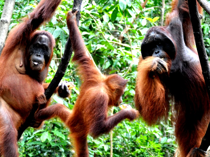 Orangutans swinging in the wild in Borneo