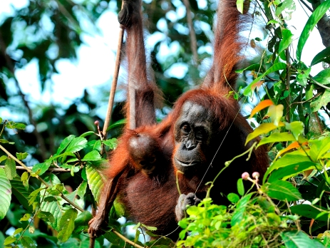 Mother and baby orangutan watch over the river from their tree