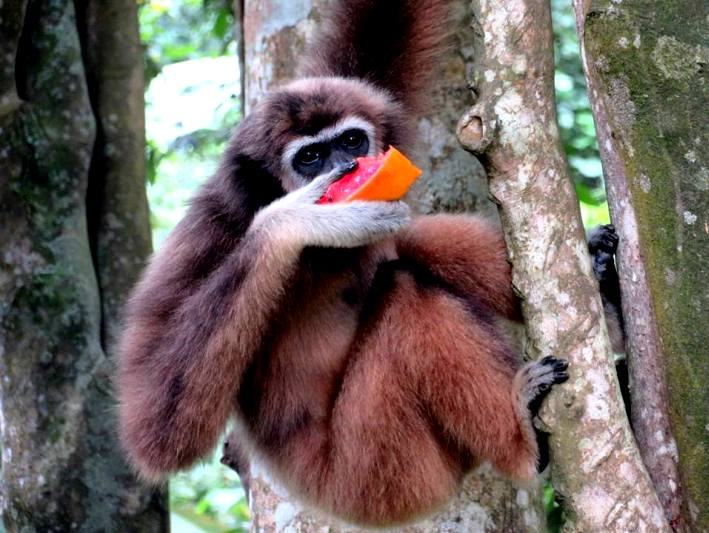 A gibbon relaxes in the trees