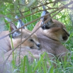 Caracal cuddle up at LIONSROCK