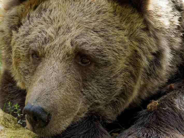 A bear that has been rescued enjoys life in his new sanctuary home in Romania