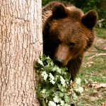 Romania bear hiding around a tree