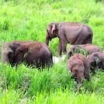 Group of elephants in Sri Lanka