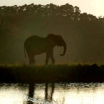 An elephant stands in the morning light