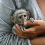 baby monkey in South Africa in hand of volunteer