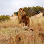male lion in the savanna in South africa