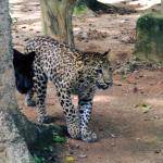 Big cats explore their new enclosure on the zoo internship in Malaysia