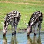 The game ranger course is a fantastic opportunity to see amazing animals, such as these beautiful zebra