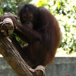An orangutan that has been cared for by Oyster Worldwide volunteers