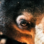 Close up picture of the smallest bear in the world, the Bornean sun bear
