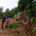 A participant volunteering in Malaysia works to improve the welfare of a zebra in a zoo